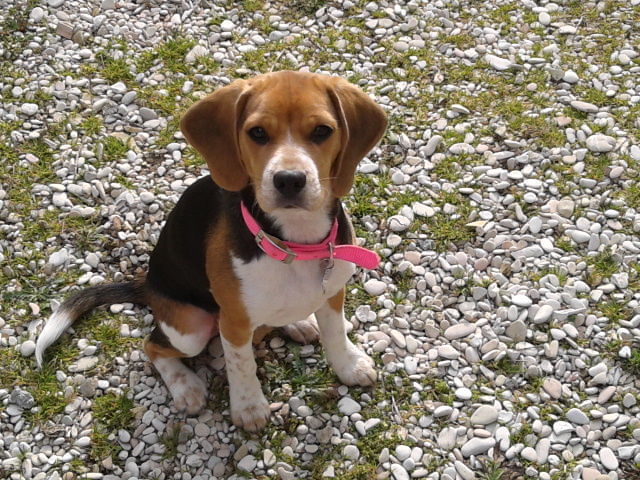 Pulce, beagle