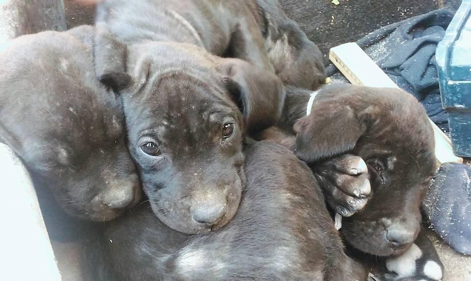 cuccioli-abbandonati-pedaso