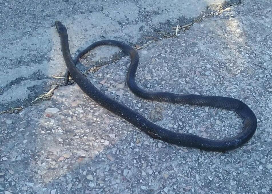 Un serpente a bordo strada apprensione a pian della noce for Serpente nero italiano